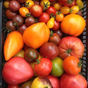 Tomatitaimed